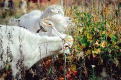 Três cabras brancas do leite comem as folhas verdes de um arbusto foto de stock royalty free