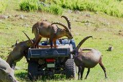 Três cabras de montanha que servem-se alimento foto de stock