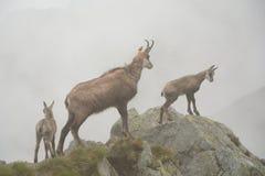 Três cabras-montesas na névoa em montanhas de Tatra Fotos de Stock