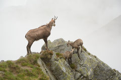 Três cabras-montesas na névoa em montanhas de Tatra Foto de Stock