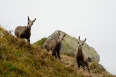 Três cabras-montesas novas na névoa em montanhas de Tatra Imagens de Stock