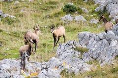 Três cabras-montesas selvagens em um campo, Jura, França Imagem de Stock