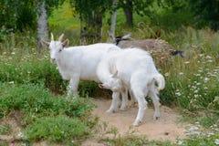 Três cabras novas Imagens de Stock