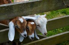 Três cabras pequenas que olham através da cerca Imagens de Stock Royalty Free