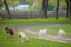 Tr?s cabras que est?o e que comem a grama verde no prado rural fotografia de stock royalty free