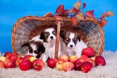Três cachorrinhos de Papillon na cesta no azul Fotos de Stock