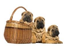 Três cachorrinhos de Sharpei, assento, encontrando-se e posto em uma cesta de vime Fotos de Stock Royalty Free