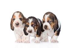 Três cachorrinhos do cão de basset que estão na parte dianteira Isolado no branco Imagem de Stock Royalty Free