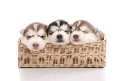 Três cachorrinhos do cão de puxar trenós siberian que dormem na cesta Fotografia de Stock Royalty Free