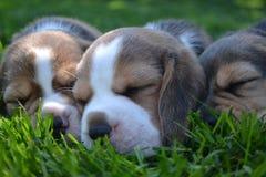 Três cachorrinhos do lebreiro que dormem no gramado imagens de stock royalty free