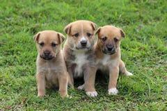 Três cachorrinhos marrons bonitos que sentam-se junto imagens de stock