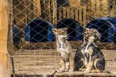 Três cachorrinhos Siberian do pastor em uma exploração agrícola encerrada do cão fotos de stock royalty free