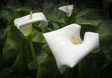 Três Callas brancos fotos de stock