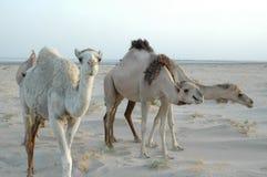 Três camelos fotografia de stock