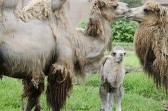 Três camelos 3 Foto de Stock Royalty Free