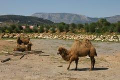 Três camelos bonitos Imagens de Stock Royalty Free