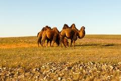 Três camelos two-humped imagens de stock royalty free