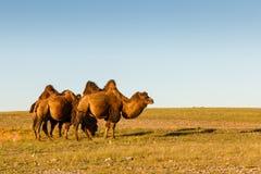 Três camelos two-humped fotos de stock