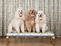 Três caniches diminutas no banco Imagens de Stock
