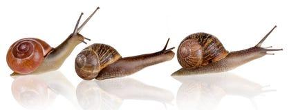 Três caracóis Imagem de Stock