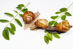 Três caracóis e folhas do verde em um fundo branco Foto de Stock Royalty Free