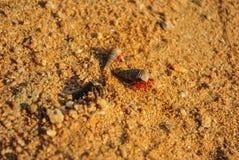 Três caranguejos de eremita Fotografia de Stock