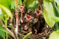 Três cardeais do bebê no ninho com as bocas largas abrem Fotografia de Stock