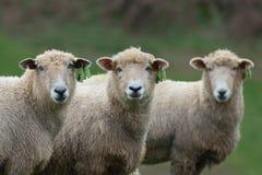 Três carneiros fotografia de stock royalty free