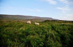 Três carneiros macios que pastam em Islândia foto de stock royalty free