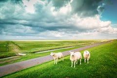 Três carneiros que olham fixamente na lente em um dia nebuloso holandês, Pieterbu Imagem de Stock Royalty Free