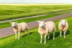 Três carneiros que olham fixamente na lente em um prado, Pieterburen, Holla Imagem de Stock