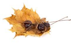 Três castanhas e folhas. Imagem de Stock Royalty Free