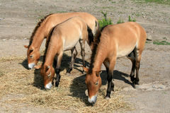 Três cavalos Fotografia de Stock