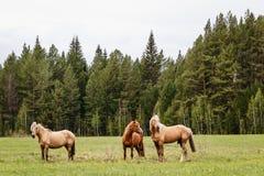 Três cavalos bonitos que pastam em um prado da floresta no verão Fotos de Stock Royalty Free