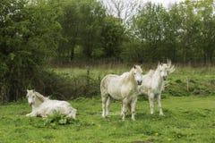 Três cavalos brancos em um campo Imagem de Stock Royalty Free