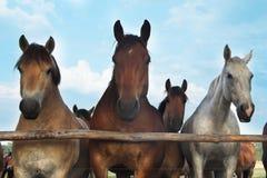 Três cavalos e rebanhos Fotos de Stock Royalty Free