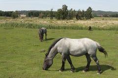 Três cavalos em um pasto Foto de Stock