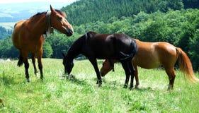 Três cavalos em um prado Imagem de Stock Royalty Free