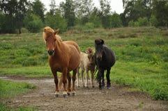 Três cavalos em uma fuga Fotografia de Stock Royalty Free