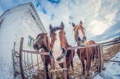 Três cavalos na pena, no inverno, fim-UPS, distorção do olho de peixes foto de stock
