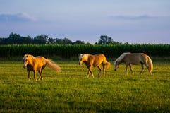 Três cavalos no por do sol Imagens de Stock