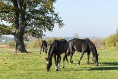 Três cavalos pastam no prado Três cavalos bonitos imagem de stock royalty free