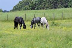 Três cavalos que pastam Imagem de Stock Royalty Free