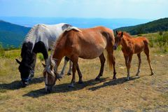 Três cavalos que pastam Imagens de Stock Royalty Free