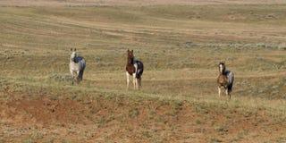 Três cavalos selvagens Fotografia de Stock Royalty Free