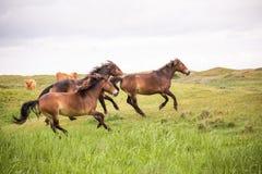 Três cavalos selvagens que correm na ilha holandesa do texel foto de stock royalty free