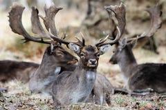 Três cervos Imagem de Stock Royalty Free