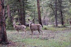 Três cervos Foto de Stock Royalty Free