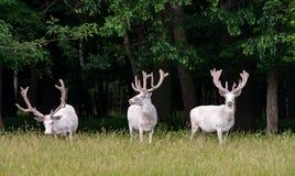 Três cervos brancos majestosos na reserva do jogo, floresta no backgroung fotografia de stock royalty free