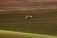 Três cervos de ovas europeus, correndo ao redor nos círculos nos campos em Moravia sul República checa imagem de stock royalty free